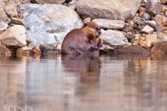 1_Beaver