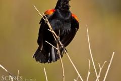 1_Blackbird