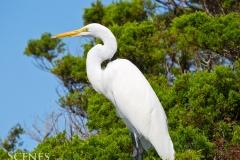 1_Egret