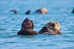 1_Otter